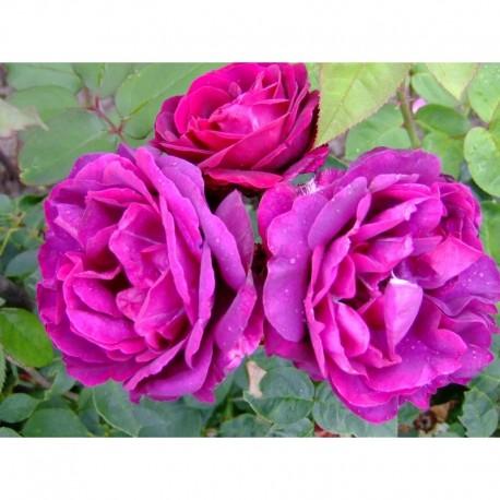 Rosa 'Rose du roi à fleurs pourpres' - Rosaceae - Rosier
