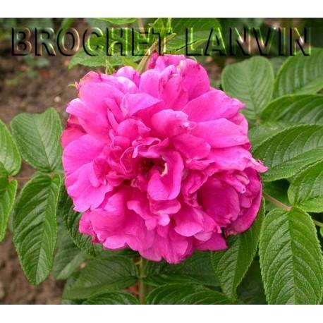 Rosa 'Roseraie de l'Hay' - Rosaceae - Rosier