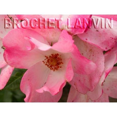 Rosa 'Rush (R)' - Rosaceae - Rosier