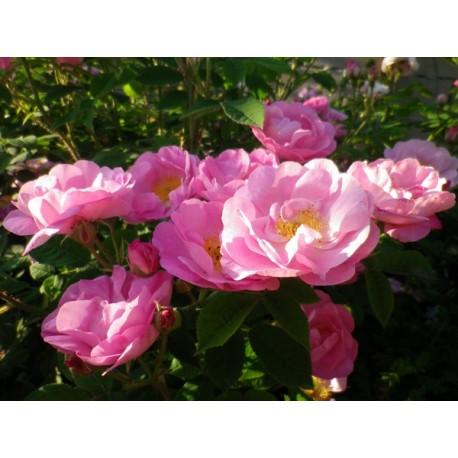 Rosa 'Saint Nicholas' - Rosaceae - Rose ancienne - Rosier arbuste