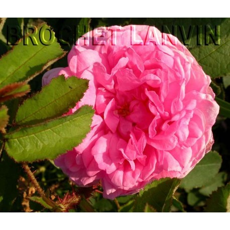 Rosa 'Salet' - Rosaceae - Rosier mousseux