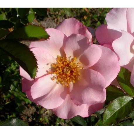 Rosa  'Santa Catalina' - Rosaceae - Rosier
