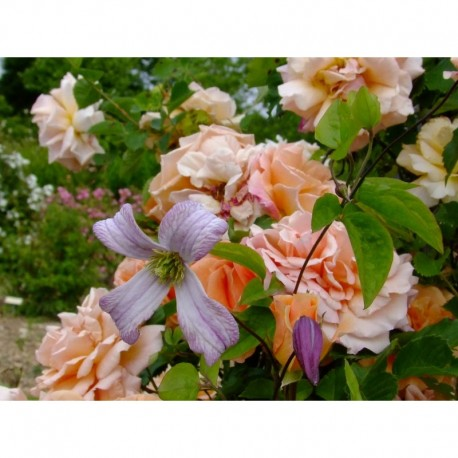 Rosa  'Schloss Wildenfels' - Rosaceae - rosier