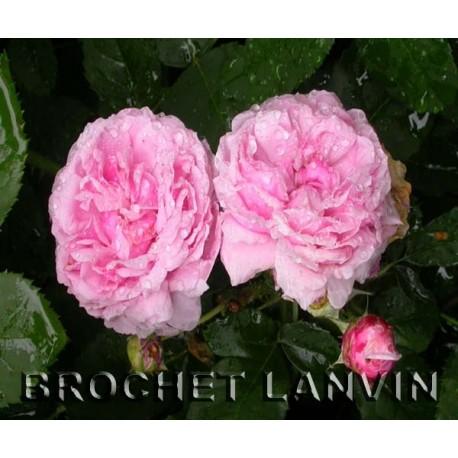 Rosa 'Schon Ingeberg' - Rosaceae - Rosier