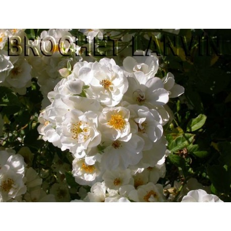 Rosa  'Seagull' - Rosaceae - Rosier
