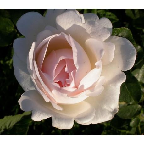 Rosa 'Sebastien Kneipp' - Rosaceae - Rosier