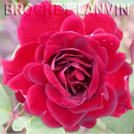 Rosa  'Senegal cl' - Rosaceae - Rosier