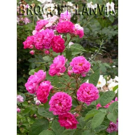 Rosa 'Seven Sisters Rose' - Rosaceae - Rosier