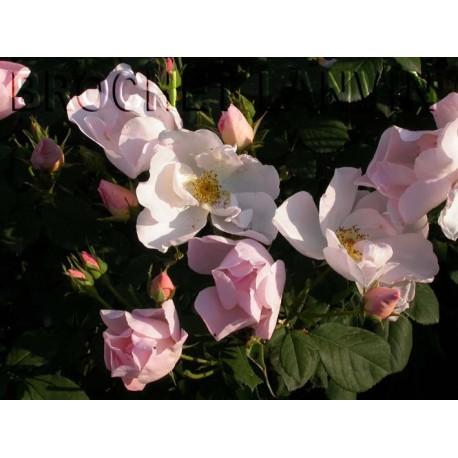 Rosa 'Shropshire Lass' - Rosaceae - Rosier