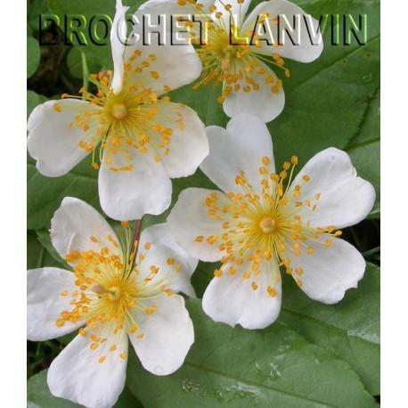 Rosa  'Sir Cedrix Morris' - Rosaceae - Rosier