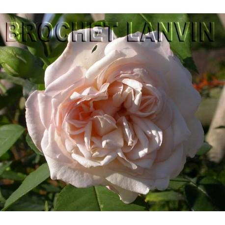 Rosa 'Sombreuil' - Rosaceae - Rosier