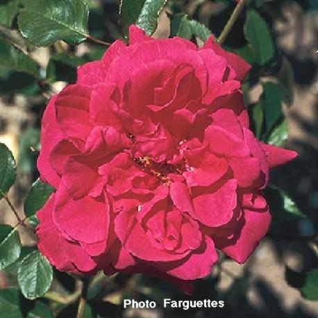 Rosa 'Souvenir de Claudius Denoyel' - Rosaceae - Rosier