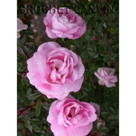 Rosa 'Souvenir de Fernand Leroy' - Rosaceae - Rosier
