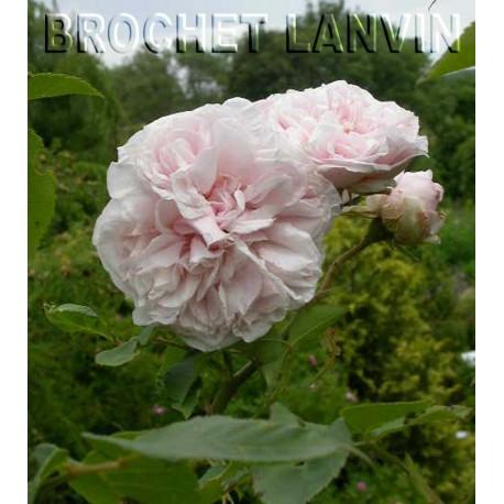 Rosa 'Souvenir de la Malmaison' - Rosaceae - Rosier