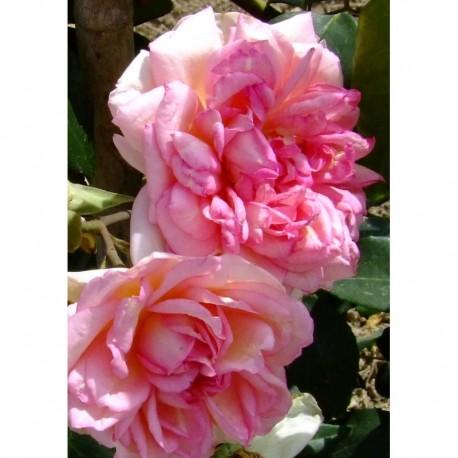 Rosa  'Souvenir de Mme Léonie Viennot' - Rosaceae - Rosa