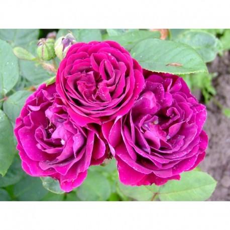 Rosa  'Souvenir du Docteur Jamain' - Rosaceae - Rosier
