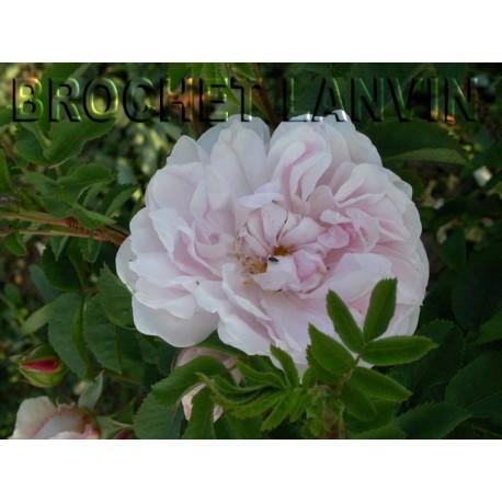 Rosa 'Stanwell Perpetual' - Rosaceae - Rosier