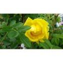 Rosa 'Star of Persia' - Rosaceae - Rosier arbuste