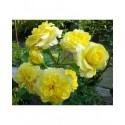 Rosa 'Sterntaler' - Rosaceae - Rosier