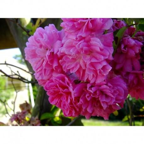 Rosa  'Super Dorothy (R)' - Rosaceae - Rosier