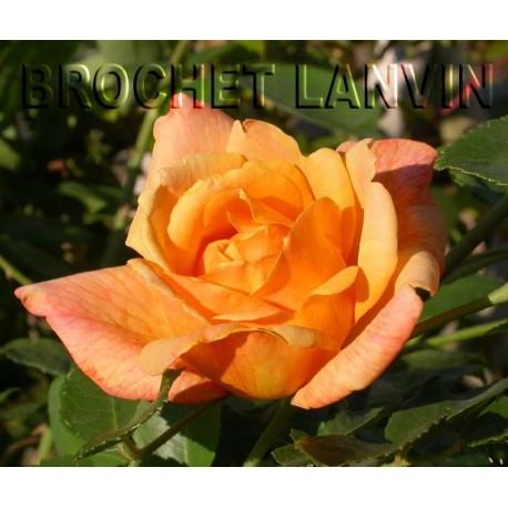Rosa  'Sutter's Gold' cl' - Rosaceae - Rosier