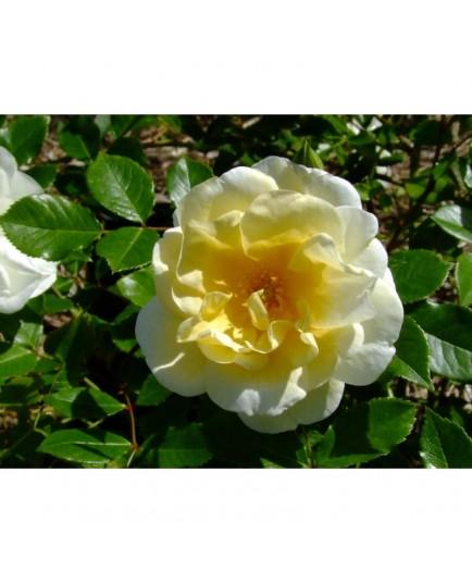 Rosa 'Tall Story' - Rosaceae - Rosier