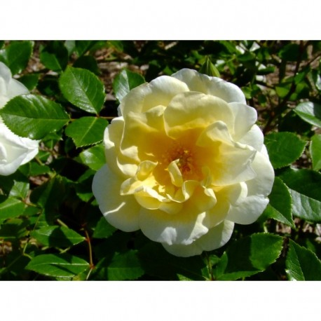 Rosa 'Tall Story' - Rosaceae - Rosier