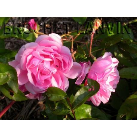 Rosa  'Tea Rambler' - Rosaceae - Rosier