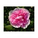 Rosa 'Thérèse Bugnet' - Rosaceae - Rosier