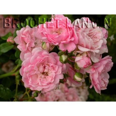 Rosa 'The Fairy' - Rosaceae - Rosier nain