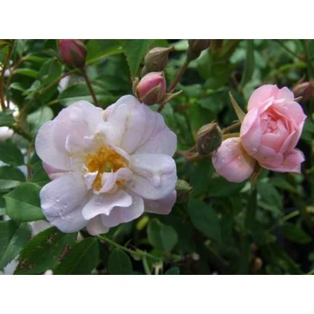 Rosa  'The Garland' - Rosaceae - Rosier