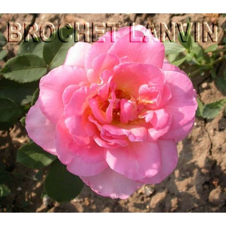 Rosa 'Tiffany' - Rosaceae - Rosier nain à bouquet