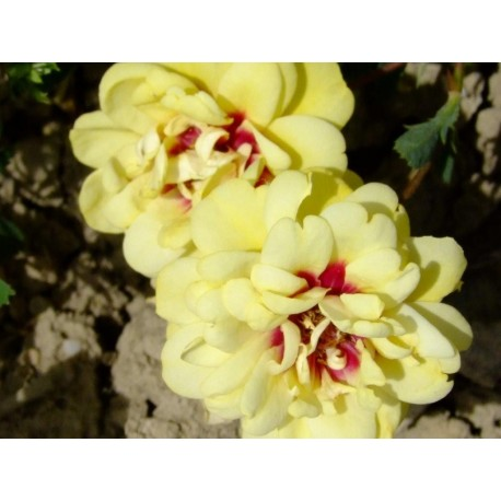 Rosa 'Tigris' - Rosaceae - Rose ancienne - Rosier arbustif