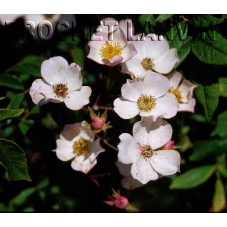 Rosa  'Toby Tristan' - Rosaceae - Rosier