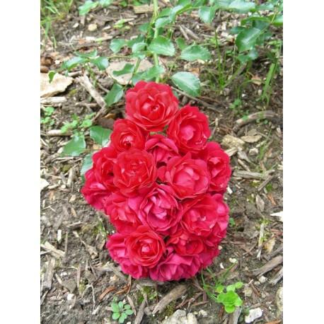 Rosa 'Toscana' - Rosaceae - Rosier couvre sol