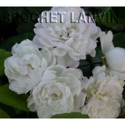 Rosa 'Trésor de Thorigny' - Rosaceae - Rosier
