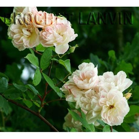 Rosa  'Treasure Trove' - Rosaceae - Rosier