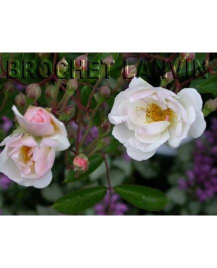 Rosa 'Trier' - Rosaceae - Rosier