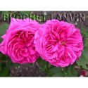 Rosa 'Triomphe de Caen' - Rosaceae - Rosier