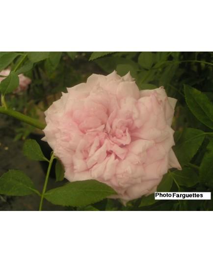 Rosa 'Triomphe de la Guillotière' - Rosaceae - Rosier grimpant