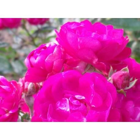Rosa  'Triomphe Orléanais cl' - Rosaceae - Rosier