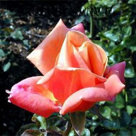 Rosa 'Troika' - Rosaceae - Rosier nain à bouquet