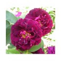 Rosa 'Tuscany Superb' - Rosaceae - Rosier