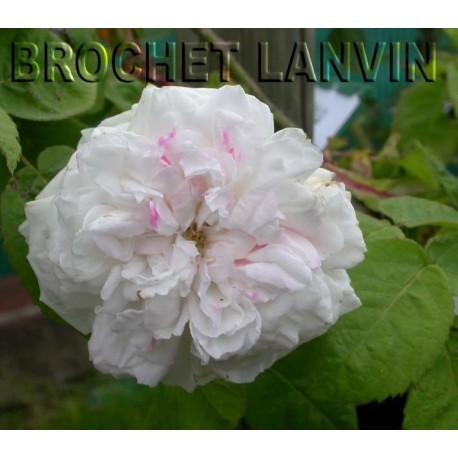 Rosa 'Unique Panachée' - Rosaceae - Rosier