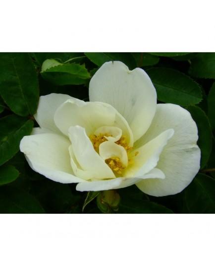 Rosa 'van Scharnhorst' - Rosaceae - Rosier