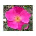 Rosa 'Vanity' - Rosaceae - Rosier