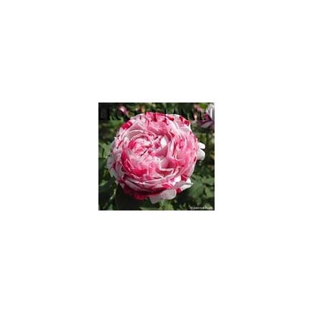 Rosa 'Variegata di Bologna' - Rosaceae - Rosier