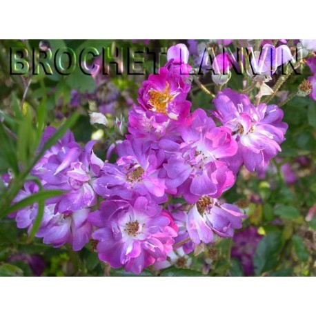 Rosa  'Veilchenblau' - Rosaceae - Rosier