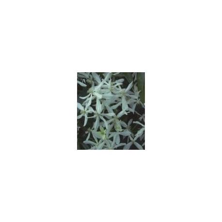 Clematis armandii - Clematite
