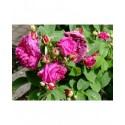 Rosa 'Velours Pourpre' - Rosaceae - Rosier